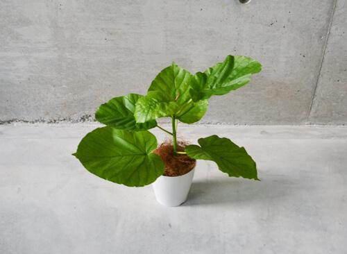 ハート形の葉っぱが可愛いお試しサイズのフィカス・ウンベラータ